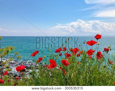 Red Poppies Flowering In Pomorie, Bulgaria. Stock Photos.