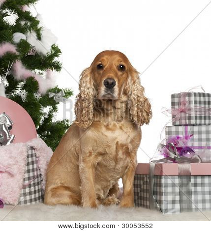 English Cocker Spaniel, 4 years old, with Christmas tree and gifts in front of white background