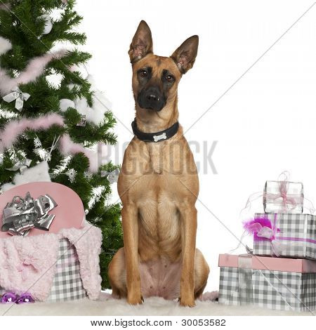 Belgian Shepherd Dog, Malinois, 1 year old, with Christmas tree and gifts in front of white background