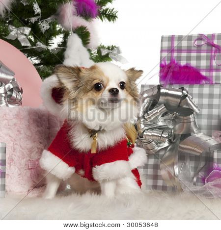 Chihuahua, 2 years old, with Christmas tree and gifts in front of white background