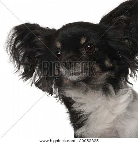 Crossbreed dog in front of white background
