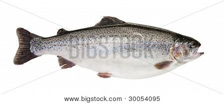 Isolated Trout