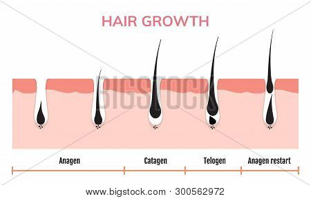 Hair Growth Cycle Skin. Follicle Anatomy Anagen Phase, Hair Growth Diagram Illustration
