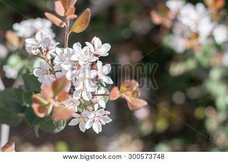 Spring Flowers Of Blooming Spring Apple Tree. Natural Spring Flower Landscape, Closeup Of Spring App
