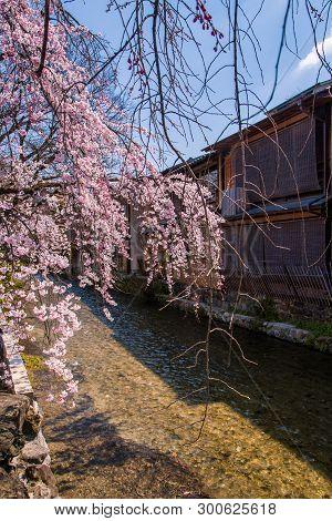 Cherry Blossom In Historic Gion Shirakawa District, Kyoto, Japan