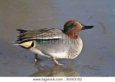 Duck Walking On A Frozen Pond