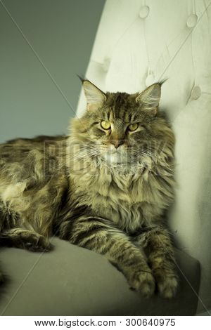 Portrait of a disgruntled cat lying on a chair . poster