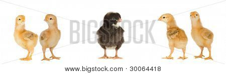 Four yellow chicks and one black chick isolated on a over white background