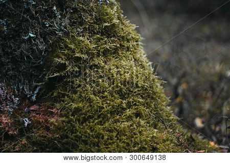 Green Moss On A Tree In The Forest Close-up. Surface Covered With Moss. Macro Moss. Moss In The Fore