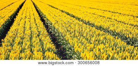 Yellow Colored Tulip Flowers In Long Converging Rows In The Field Of A Large Dutch Bulbs Nursery. It