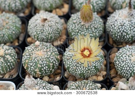 Cactus In A Pot Growing In Nursery Succulent Plant
