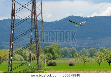Large White Bird With Black Wing Feathers Flying Over Green Countryside In Spring In Mountainous Ter