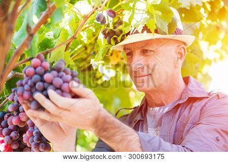 Winemaker Man In Straw Hat Examining Grapes During Vintage. Traditional Winery Culture And Winemaker