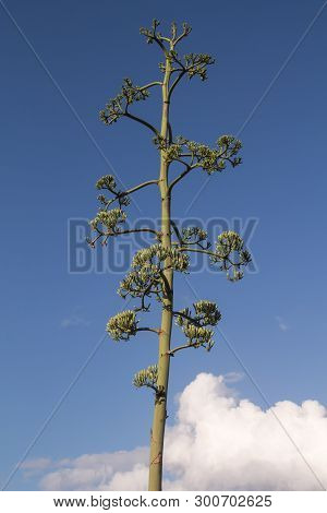 Very High Stem Of An Agave Flower With Many Sprouts, Blooming In The Spring. Bright Blue Sky In The