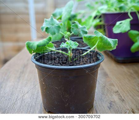 Pelargonium, Geranium Or Storksbill Seedlings, Sprouts In Plant Pots In Greenhouse