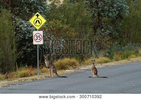 Macropus Giganteus - Eastern Grey Kangaroo In Tasmania In Australia, Maria Island, Tasmania, Crossin
