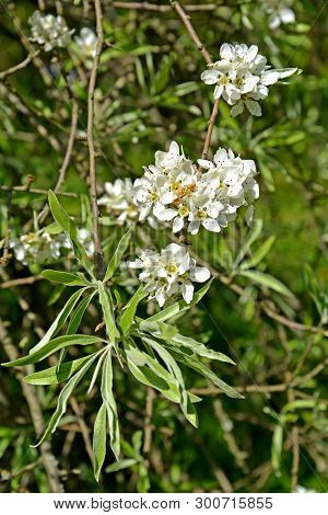 Flowers And Leaves Of Willow-leaf Pear  (pyrus Salicifolia F. Pendula). Spring