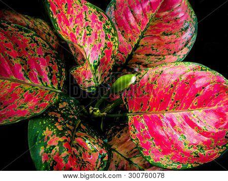Beautiful Color On Leaf Of Aglaonema Tropical Houseplant