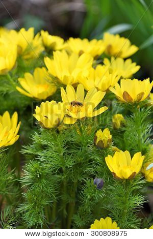 Adonis Vernalis Is A Perennial Flowering Plant