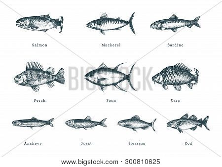 Illustration Of Fishes On White Background. Drawn Seafood Set In Engraving Style. Sketches Collectio