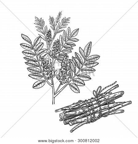 Realistic Medicinal Plant Mulethi Or Liquorice. Branch, Flowers, Leaves And Root. Vintage Engraving.