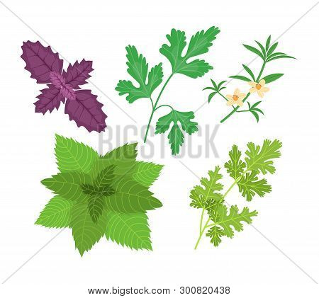Healthy, Environmentally Friendly Natural Vegetation. Basil, Parsley, Savory, Mint, Cilantro.