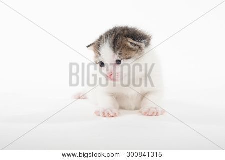 Cute Baby White Tabby Two-week-old Kitten Isolated On White Background