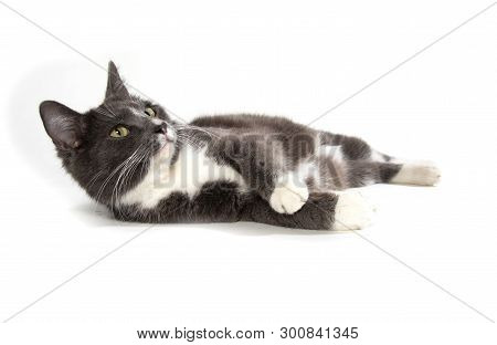 Adult Gray And Whie Cat Isolated On White Background