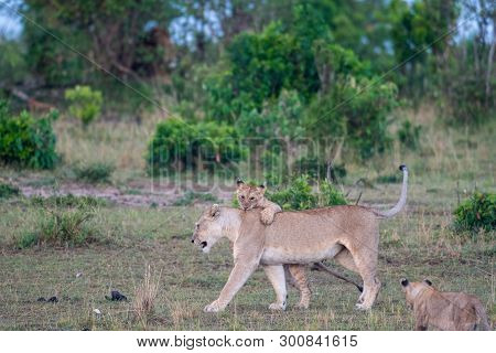 Lion Cub Playing With Lioness At A Kill In Masai Mara Game Reserve, Kenya
