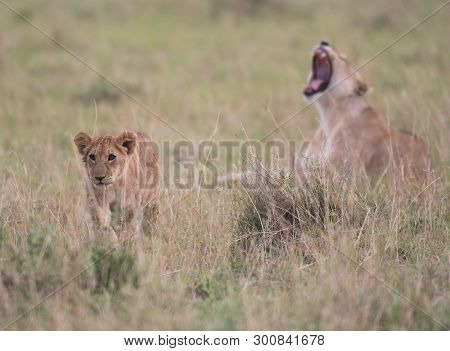 Lion Cub Walking  In A Savannah In Masai Mara Game Preserve, Kenya.