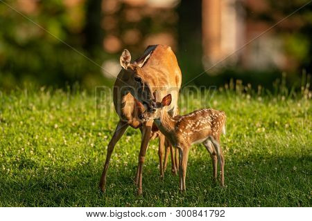 White-tailed Deer Doe And Its Fawn In An Open Meadow.