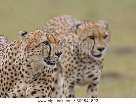 Portrait Of A Cheetah Hunting In A Savannah In Masai Mara Game Reserve, Kenya