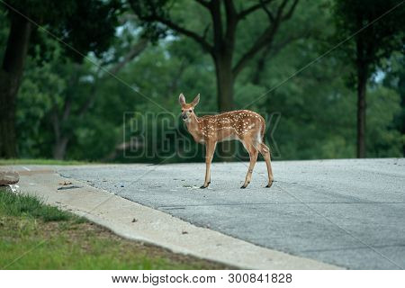White-tailed Deer Fawn Crossing A Roadway In The Country