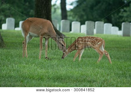 White-tailed Deer Doe And Fawn In Jefferson Barracks National Cemetery In St. Louis