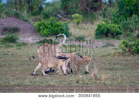Lion Cub With Leg In Its Mouth At A Kill Site In Masai Mara Game Reserve, Kenya.