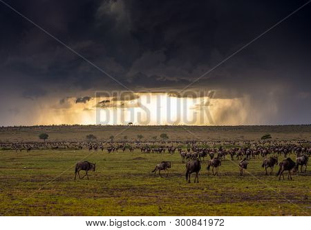A Thunderstorm With Herd Of Wildebeest In Masai Mara Game Reserve, Kenya.