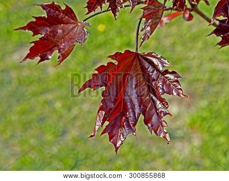Tree With The Latin Name Acer Platanoides Crimson Sentry Grows In Chelyabinsk In The Park