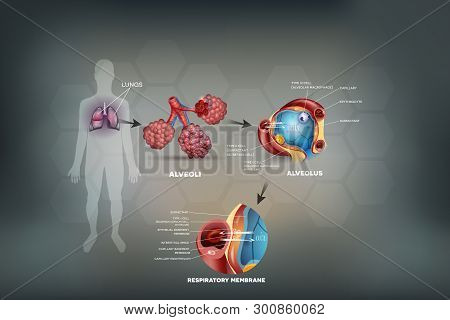 Human Lungs, Alveoli Anatomy, Oxygen And Carbon Dioxide Exchange Between Alveoli And Capillaries, Ex