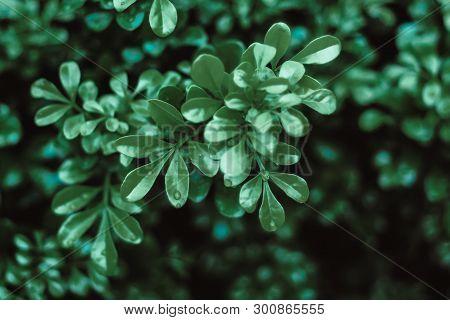 Water Drop On Big Green Leaves, Dark Green Leave Background ,green Leaf On The Dark Background ,dark