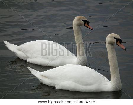 White Swan Couple