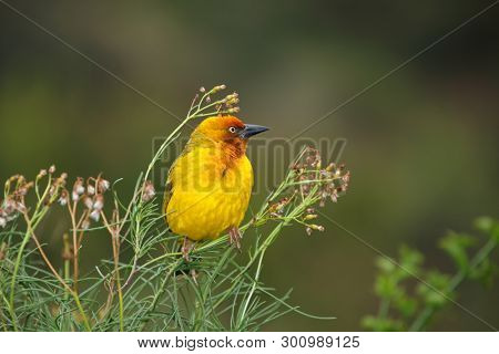 Male Cape weaver (Ploceus capensis) perched on a plant, South Africa