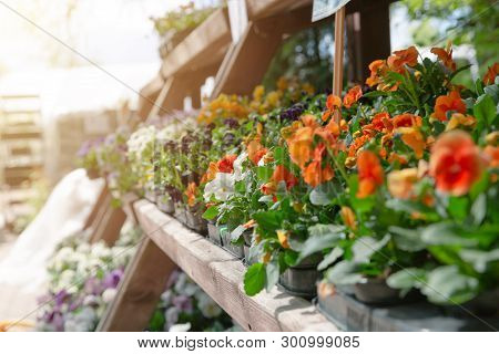 Potted Pansies For Sale Sitting Outdoors In Garden Nursery. Gardening Concept