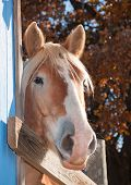 Tall Belgian draft horse peeking at the viewer from behind a blue barn poster