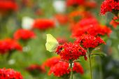 Butterfly Limonite, common brimstone, Gonepteryx rhamni on the Lychnis chalcedonica blooming plant outdoors in summer day poster