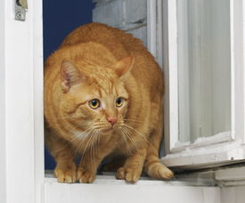 Red Cat At An Open Window