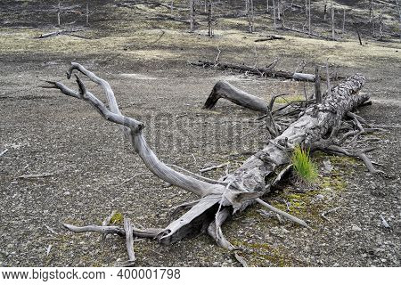 Dead Forest On Kamchatka Peninsula - Consequence Of Natural Disaster ( Catastrophic Eruptions Plosky