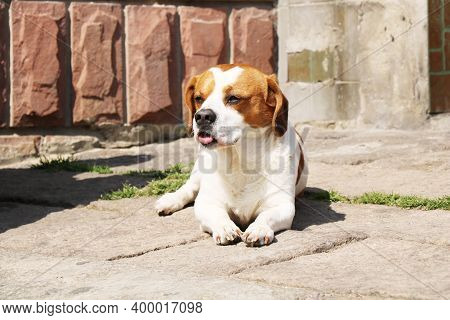 Dog On Street. Beautiful Dog On Street. Close Up Of Street Dog. Cute Little Dog Portrait. City Dog L
