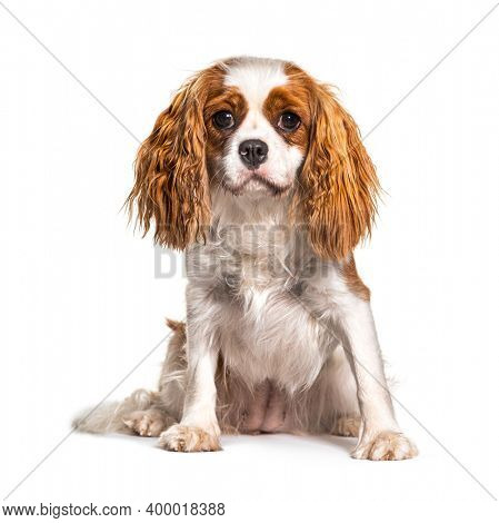 Cavalier King Charles Spaniel dog, isolated