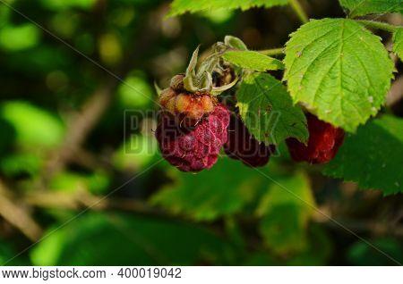 Raspberries In The Sun. Photo Of Ripe Raspberries On A Branch. Raspberries On A Branch In The Garden