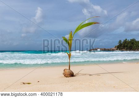 A Small Coconut Tree Grows From A Coconut Tree On A Tropical Beach In The Sun On An Ocean Island In